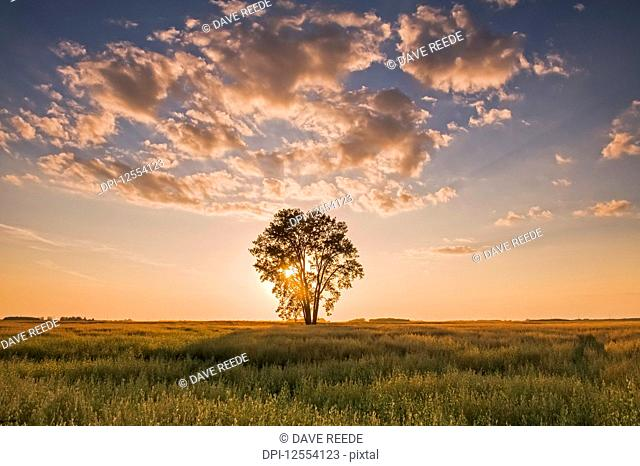Oat field with cottonwood tree at sunset, near Dugald; Manitoba, Canada