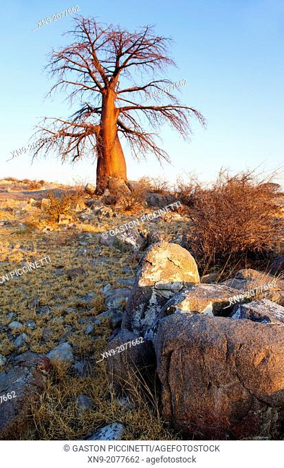 Baobabs (Adansnia digitata), Kubu isalnd, in the south west of Sowa Pan, Makgadikgadi pans, Botswana, Africa