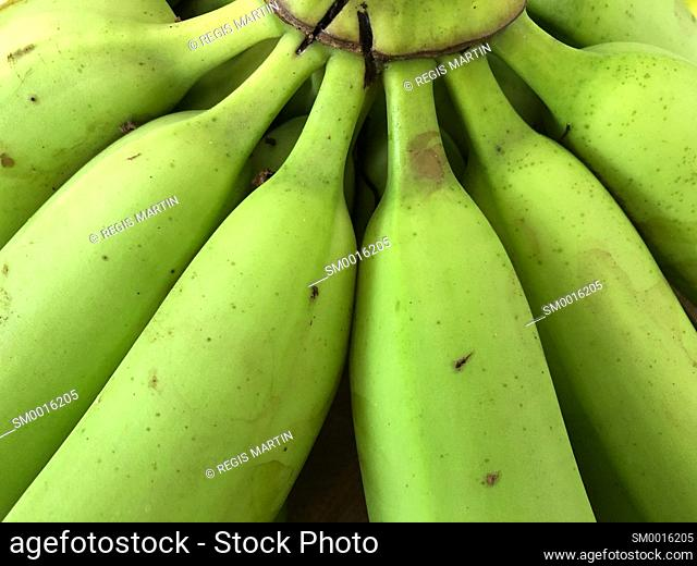 Closeup of a bunch of green cavendish bananas