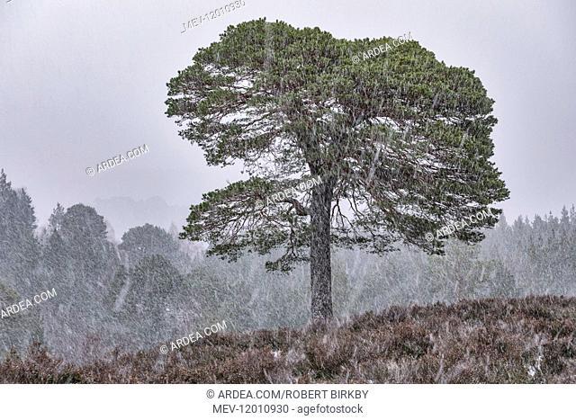 Scots Pine tree in blizzard conditions - Glen Affric, Scotland