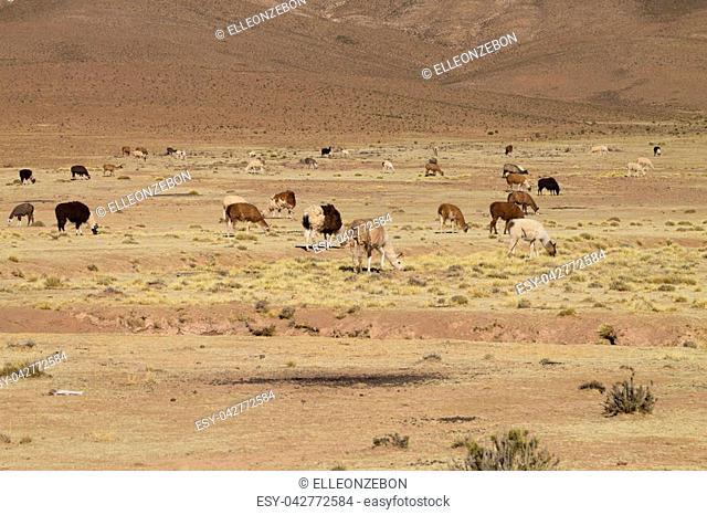 Bolivian llama breeding on Andean plateau,Bolivia