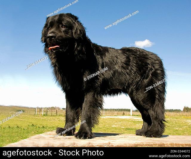 portrait of a beautiful purebred newfoundland dog