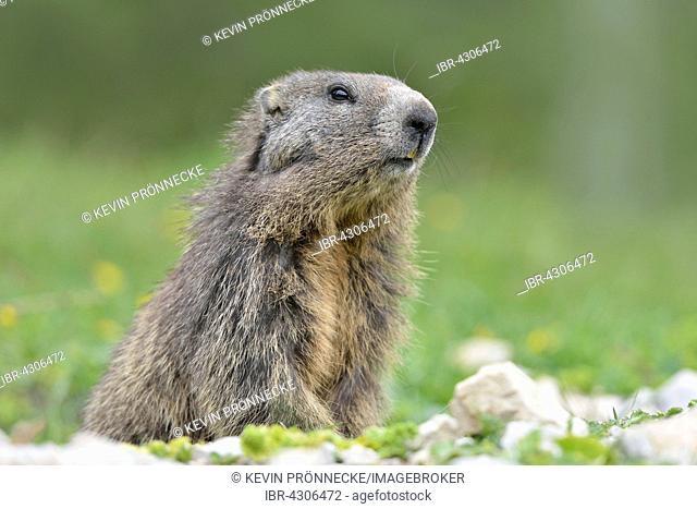 Alpine marmot (Marmota marmota) checking terrain, Dachstein Salzkammergut, Austria