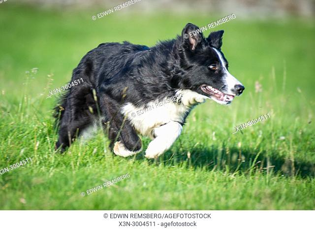 Border Collie bounds through grassy pasture, Yorkshire Dales, UK