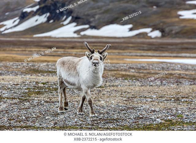 Svalbard reindeer, Rangifer tarandus, on the tundra in Varsolbukta, Bellsund, Spitsbertgen, Norway