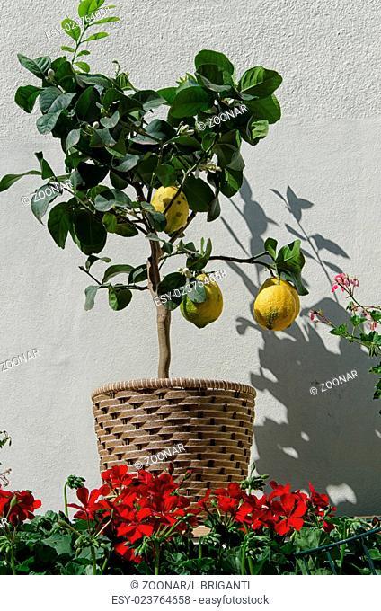 Lemon plant with three fruits