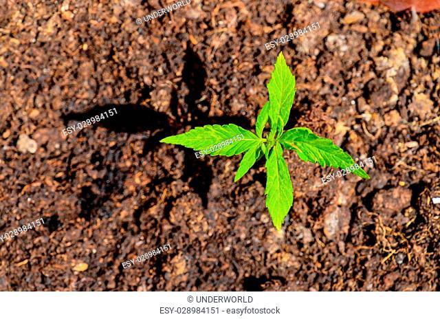 Cannabis Marijuana Green Young Plant over the Floor