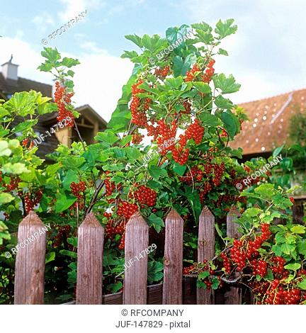 red currants / Ribes rubrum