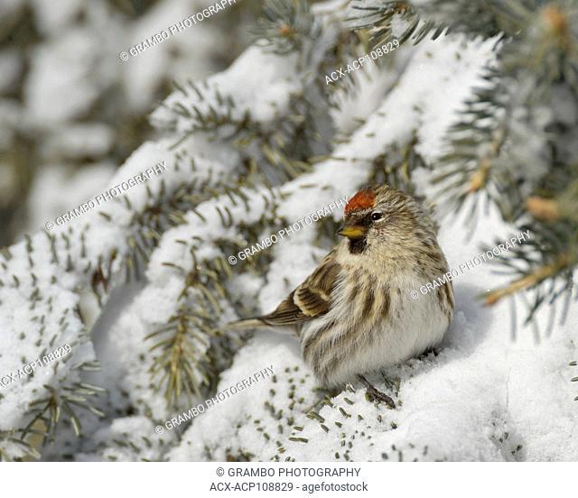 Common Redpoll, Carduelis flammea, Warman, SK, Canada