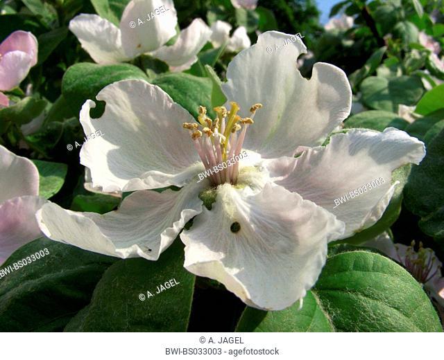 common quince (Cydonia oblonga), flower