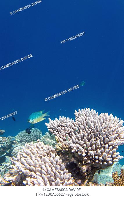 Maldives, Ari Atoll, Moofushi Resort, A Weber's Chromis fish approaching some corals