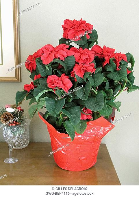 EUPHORBIA PULCHERRIMA POINSETTIA WINTER ROSE RED