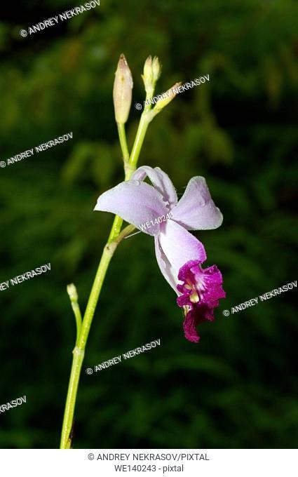 flower wild orchid (Phalaenopsis pulcherrima, Doritis pulcherrima) Sinharaja Forest Reserve, Sinharaja, Sri Lanka, South Asia