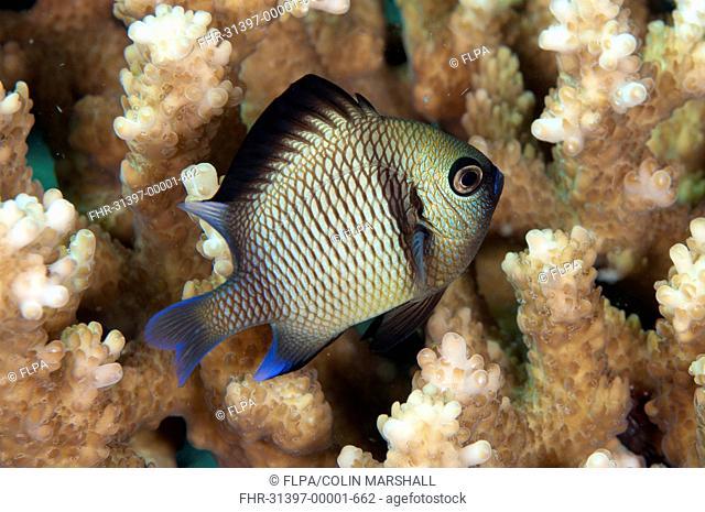 Reticulated Dascyllus (Dascyllus reticulatus) adult, swimming amongst coral, Seraya, Bali, Lesser Sunda Islands, Indonesia, December