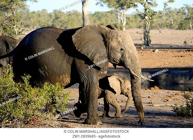 Elephant (Loxodonta africana) walking with young calf by waterhole, Talamati Bushveld Camp, Kruger National Park, Transvaal, South Africa