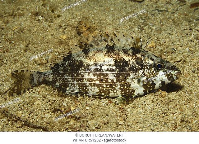 Dusky Rabbitfish, Siganus luridus, Kas, Mediterranean Sea, Turkey
