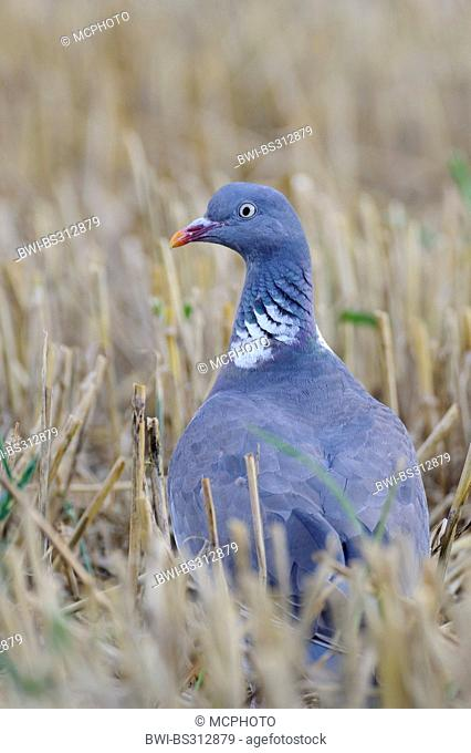 wood pigeon (Columba palumbus), sitting in a stubble field, Germany
