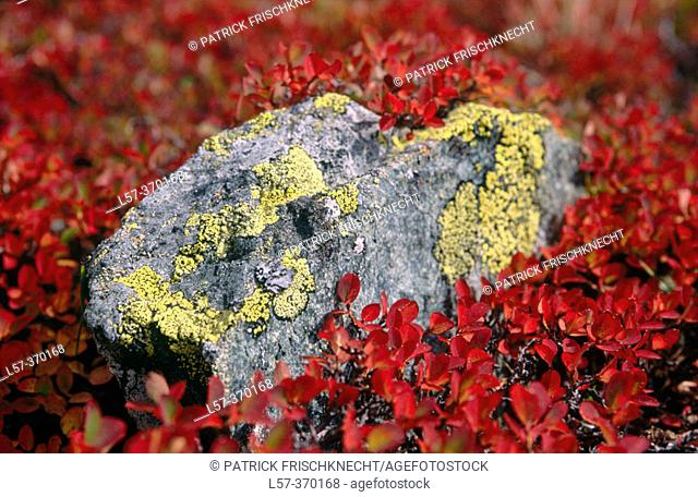 Alpine bushes in fall colours. Blueberries. Valais. Switzerland