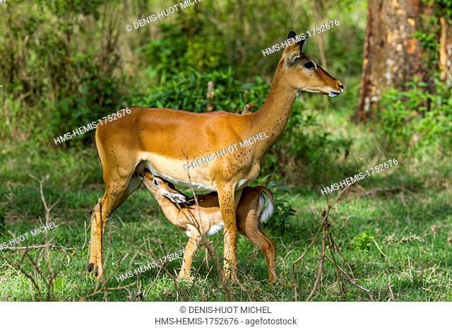 Kenya, Masai-Mara game reserve, Impala (Aepyceros melampus), fawn suckling
