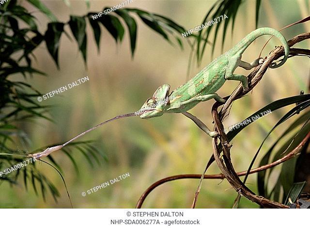 VEILED or YEMENI CHAMELEON Chamaeleo calyptratus catching cricket with tongue
