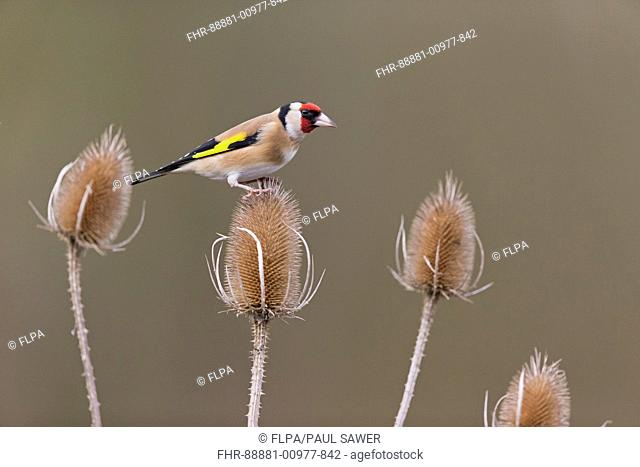 European Goldfinch (Carduelis carduelis) adult, perched on teasel seedhead, Suffolk, England, UK, February