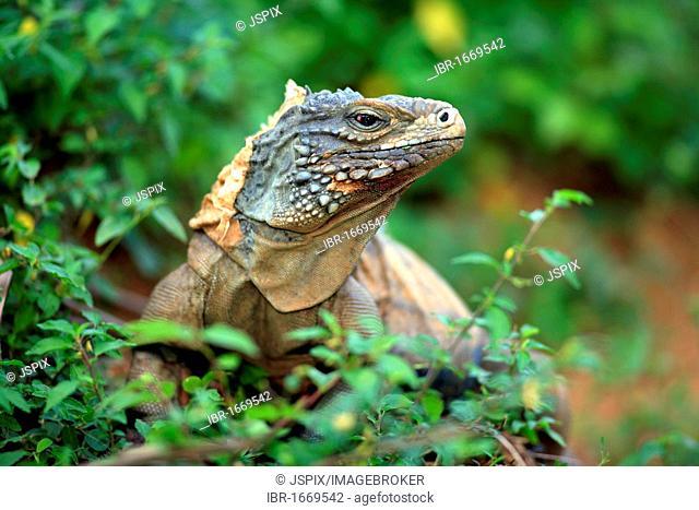 Blue Iguana or Grand Cayman Iguana (Cyclura lewisi)