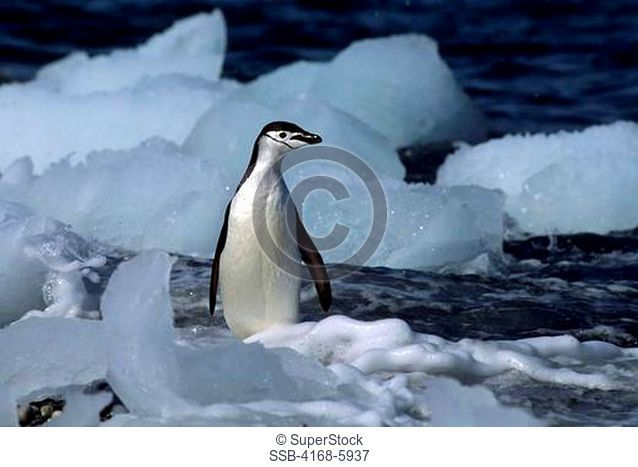 ANTARCTICA, SOUTH ORKNEY ISLANDS, ICE PEBBLES ON BEACH, CHINSTRAP PENGUIN
