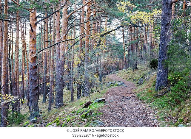 Pines in Canencia Birch. Sierra de la Morcuera. Canencia. Madrid. Spain. Europe