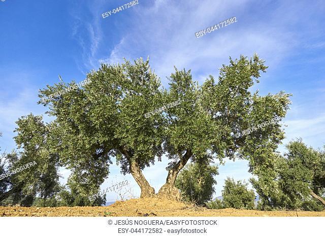Olive grove in Granada, Andalusia. Spain