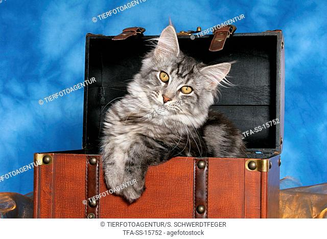 young maine coon in case