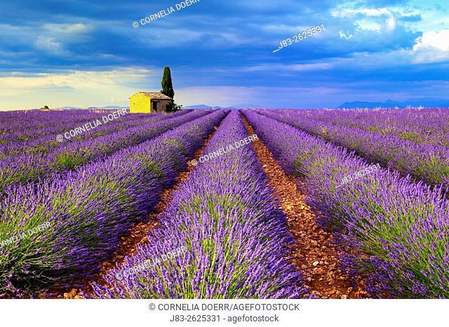Cottage in Lavender field at sunset, (Lavandula), Plateau de Valensole, Puimoisson, Provence, France