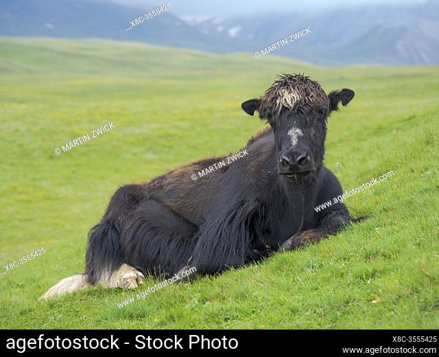Domestic Yak ( Jak, Bos mutus ) on their summer pasture. Alaj Valley in the Pamir mountains. Asia, central Asia, Kyrgyzstan