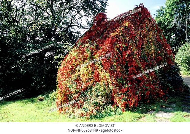 Cottage covered with red flower ivy