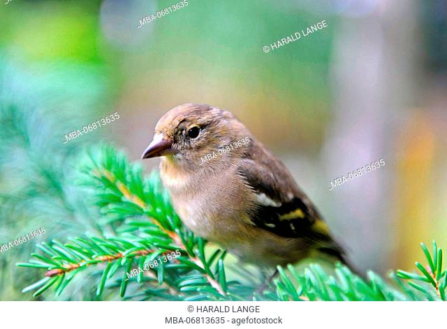 Greenfinch or Eurasian greenfinch, Carduelis chloris, on search for food in the spruce forest
