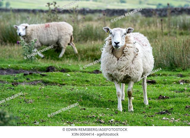 Pair of sheep graze in grassy field, Yorkshire Dales, UK