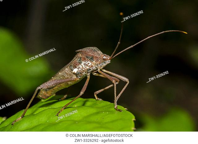 Leaf-footed Bug (Coreidae family) on leaf, Klungkung, Bali, Indonesia