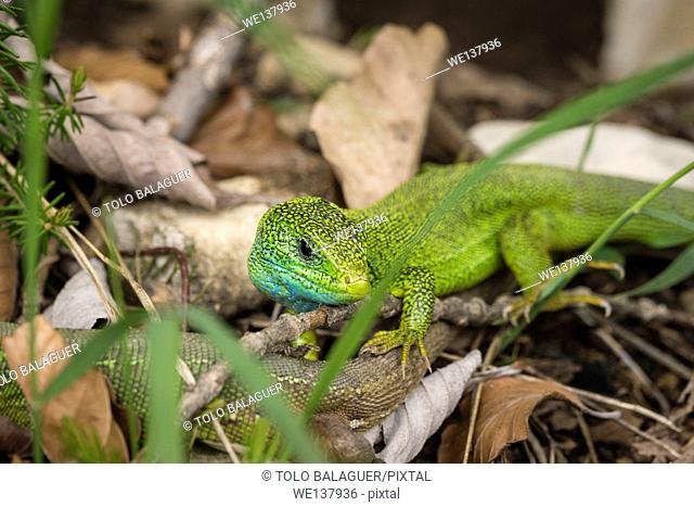 European green lizard (Lacerta viridis), Plitvice Lakes National Park, UNESCO World Heritage, Croatia