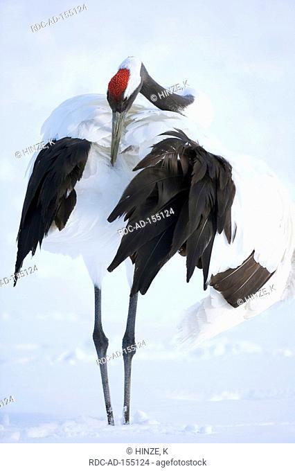 Japanese Crane Hokkaido Japan Grus japonensis Japanese Crane Manchurian Crane