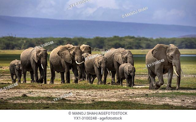 African Elephants walking in Amboselli National reserve, kenya