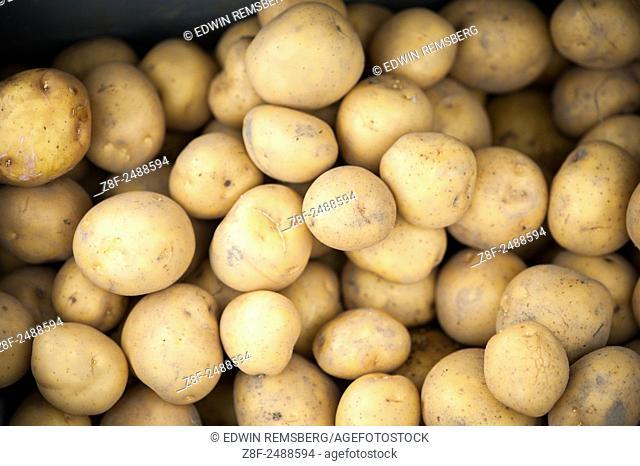 Harvested yellow potatoes (Capsicum annuum)