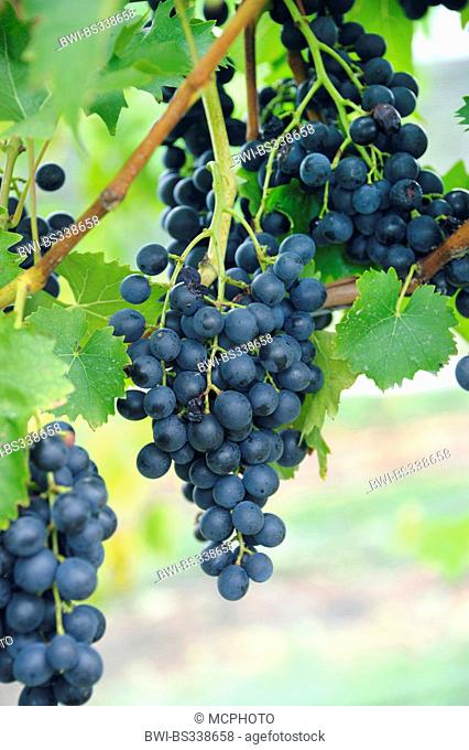 grape-vine, vine (Vitis vinifera 'Muscat Bleu', Vitis vinifera Muscat Bleu), cultivar Muscat Bleu