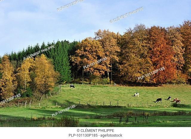 Farmland with cows in field and forest in autumn colours in the Ardennes, Belgium