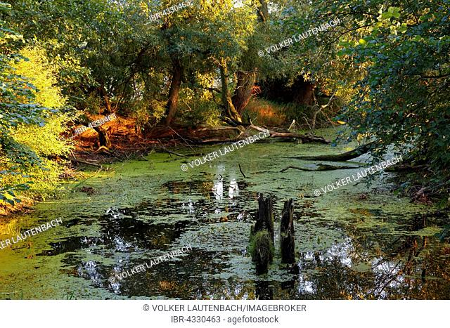 Oxbow lake in the floodplain landscape, Middle Elbe Biosphere Reserve, Dessau-Rosslau, Saxony-Anhalt, Germany