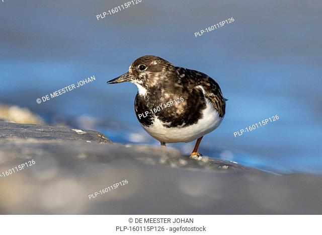 Ruddy turnstone (Arenaria interpres) in non-breeding plumage foraging along the North Sea coast in winter