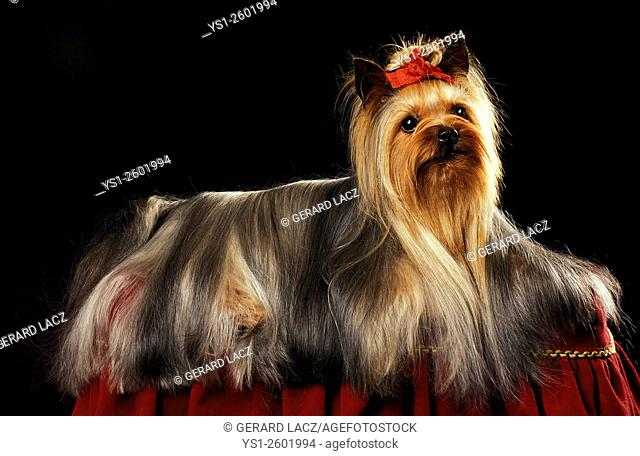 Yorkshire Terrier, Adult well Groomed