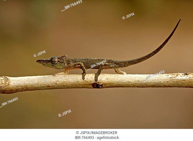 Bignose, Nosy, Nosehorn or Nose Horned Chameleon (Calumma nasuta, Calumma nasutum), Madagascar, Africa
