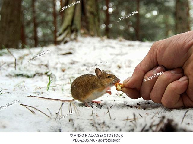Spain. León. Mountains of Card. Mouse eating the hand