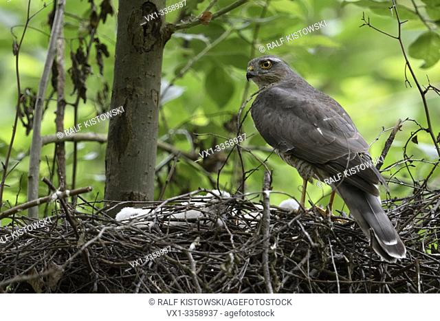Sparrowhawk / Sperber ( Accipiter nisus ), female with chicks, standing on the edge of its nest, watching back over shoulder, backside view