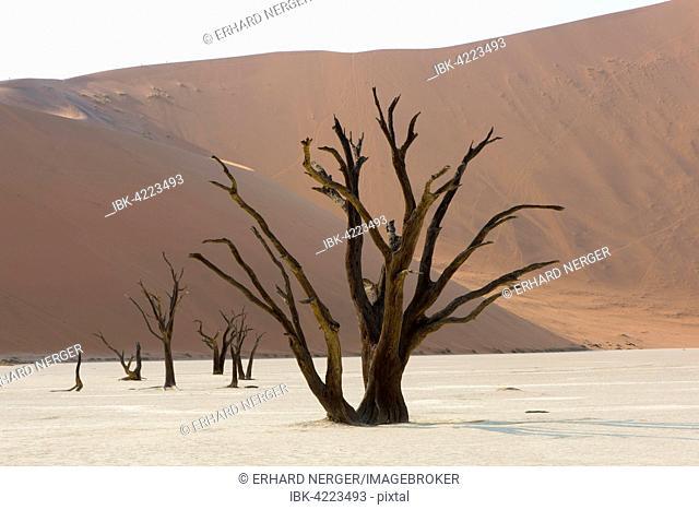 Dead camel thorn trees (Acacia erioloba) in Deadvlei, Sossusvlei, Namib Desert, Namibia