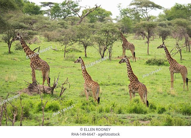 A group of Masai giraffes (Giraffa camelopardalis) in Serengeti National Park, UNESCO World Heritage Site, Tanzania, East Africa, Africa